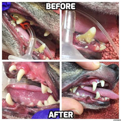 Pet dentistry at SAH